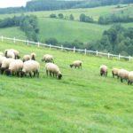「羊」について